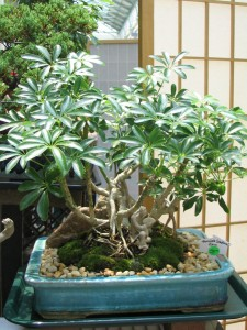 Umbrella Tree Bonsai from KS Bonsai Kreations in Mount Holly North Carolina